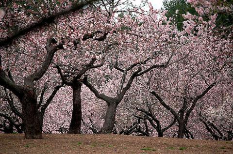 Realizarán ruta de la floración del almendro en la Murta